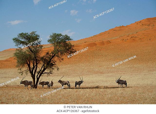 Oryx,Gemsbok,Oryx Gazella,a group of oryx staying cool under an Acacia tree at noon,in the Namib Rand Nature Reserve,western Namibia,Africa