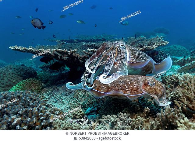 Two Broadclub Cuttlefish (Sepia latimanus) at a coral reef, egg deposition, Dimaniyat Islands nature reserve, Al Batinah region, Oman