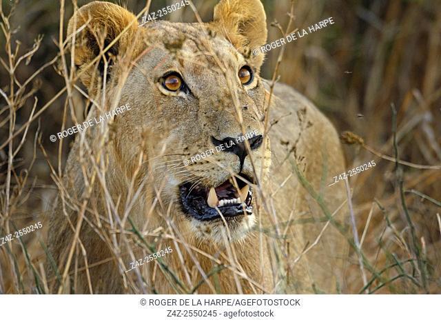 Masai lion or East African lion (Panthera leo nubica syn. Panthera leo massaica) female portrait. Ruaha National Park. Tanzania