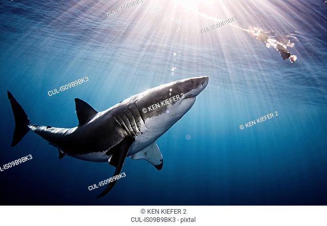 Shark swimming in sea under sunrays