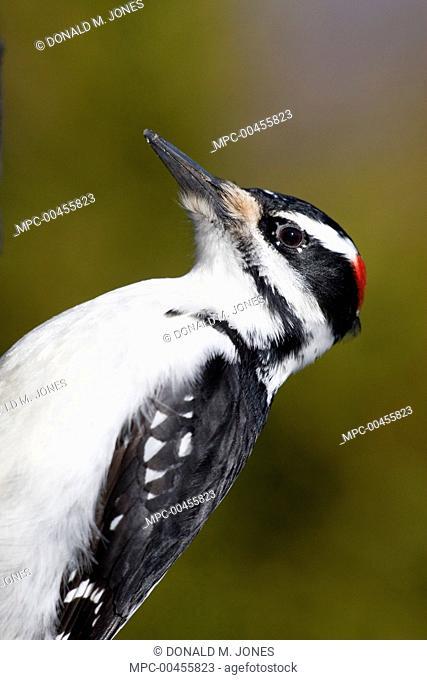 Hairy Woodpecker (Picoides villosus) male, western Montana