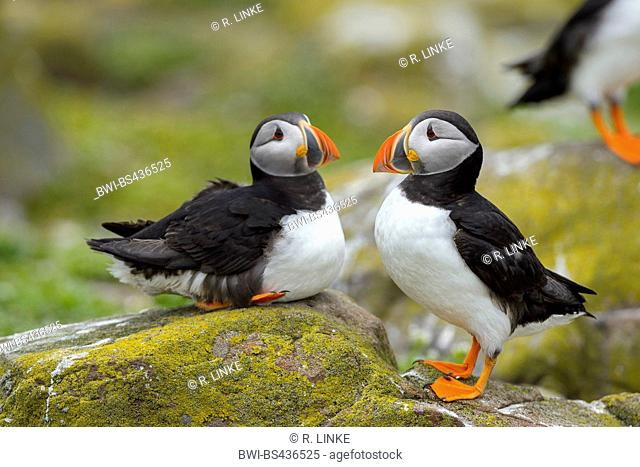 Atlantic puffin, Common puffin (Fratercula arctica), two puffins resting on a rock, United Kingdom, England, Northumberland, Farne Islands