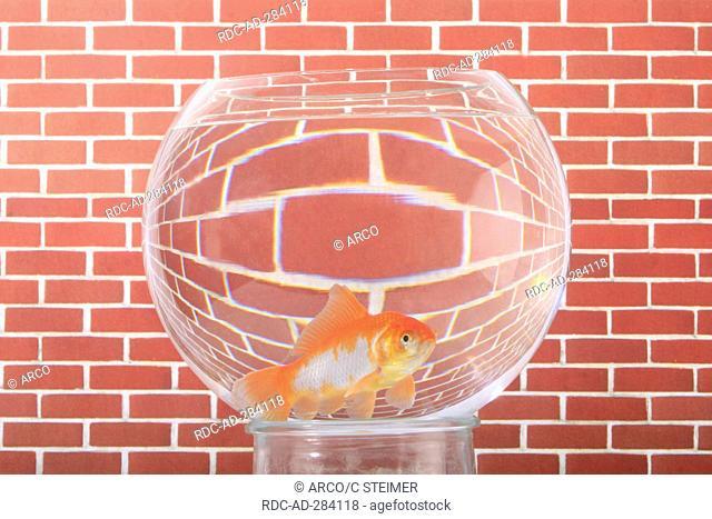 Goldfish in bowl / Goldfish bowl, wall