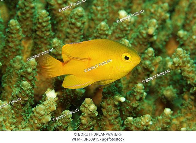 Golden Damsel, Amblyglyphidodon aureus, Alor, Lesser Sunda Islands, Indo-Pacific, Indonesia