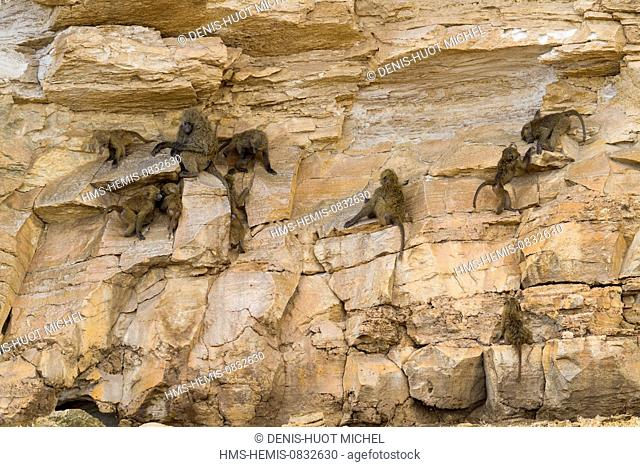 Kenya, Hell's Gate National Park, Olive baboon (Papio hamadryas anubis), group on a clift