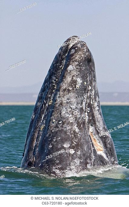 An adult California Gray Whale (Eschrichtius robustus) spy-hopping in San Ignacio Lagoon on the Pacific side of the Baja Peninsula, Baja California Sur, Mexico