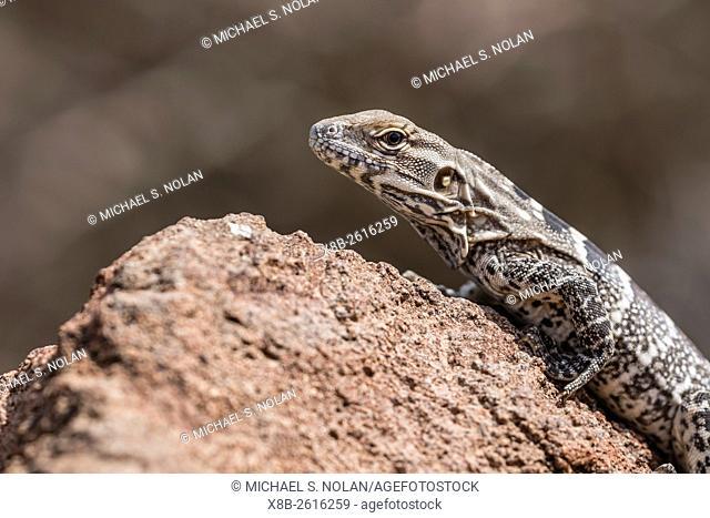 A juvenile spiny-tailed iguana, Ctenosaura conspicuosa, Isla San Esteban, Baja California, Mexico