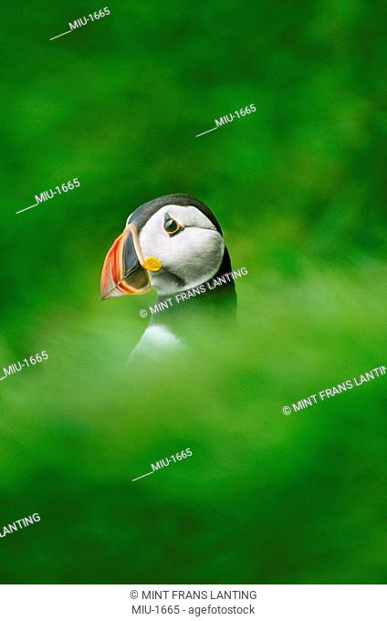 Atlantic puffin, Fratercula arctica, emerging from its ground burrow, in Scotland