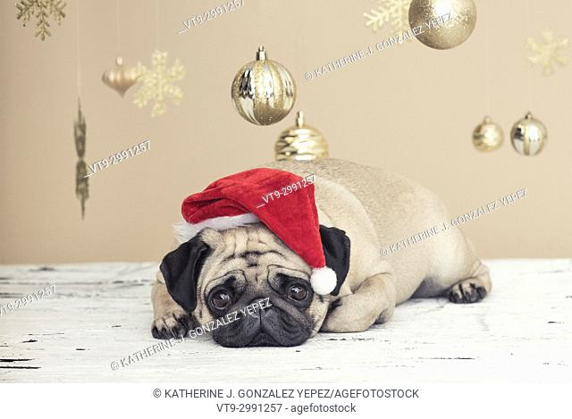 Christmas pug laying down wearing a Santa hat