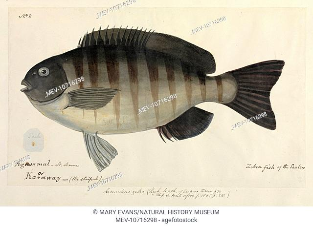 One of 67 original water colour drawings of Mammals, Reptiles and Fish found at King George's Sound,Western Australia, and in its neighbourhood ; accompanied by...