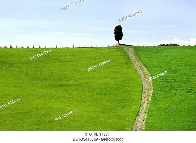 Italian cypress (Cupressus sempervirens), path to single cypress on a hill, Italy, Tuscany