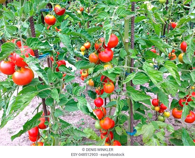 Tomatoes ripen on the shrub in the garden