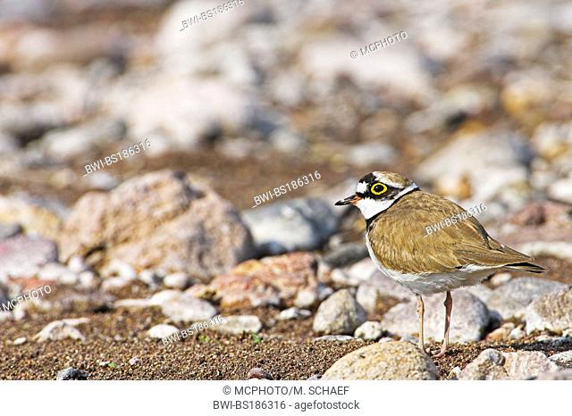 little ringed plover (Charadrius dubius), standing on graval, Greece