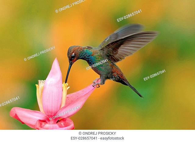 White-tailed Hillstar, Urochroa bougueri, hummingbird