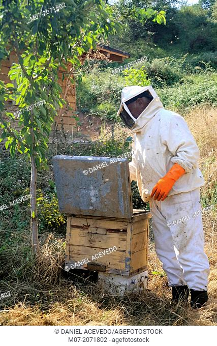 Apilcutor dealing with wild beehive, Rioja región, Spain, Europe