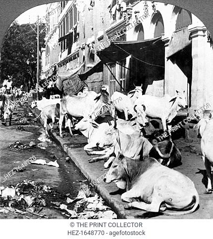 How Hindu cows enjoy life on Harrison Street, Calcutta, India, 1900s. Stereoscopic slide. Detail