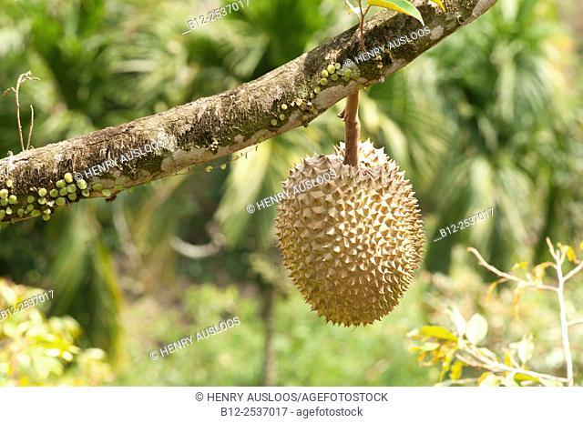 Durian - Durio zibethinus, Thailand