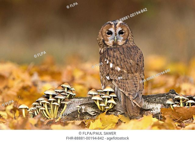 Tawny Owl (Strix aluco) adult, perched on log with Sulphur Tuft Fungi (Hypholoma fasciculare), among autumn leaves, Suffolk, England, November