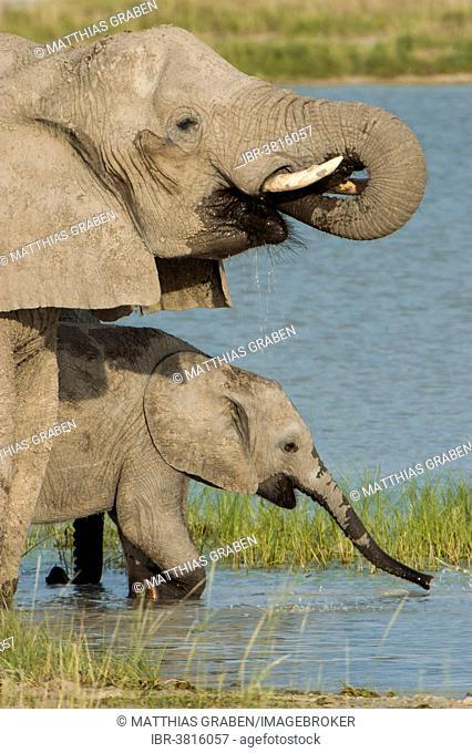 African elephants (Loxodonta africana) drinking at a waterhole, Fischer's Pan, Etosha National Park, Namibia