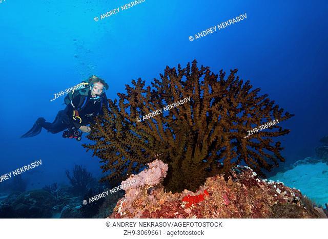 Female scuba diver looks at soft coral - Black Sun Coral (Tubastraea micranthus)