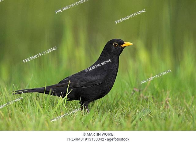 Common blackbird on a meadow, Turdus merula