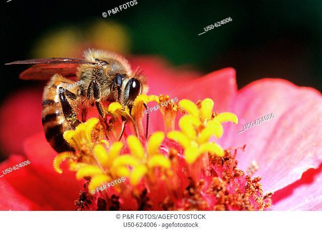Apis visiting Zinnia, Apis mellifera,  Zinnia elegans, Apidae, Compositae, 2003, Viçosa - Minas Gerais, Brazil