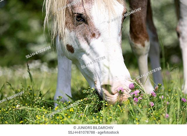 Missouri Fox Trotter. Red roan sabino pinto grazing on a pasture. Switzerland