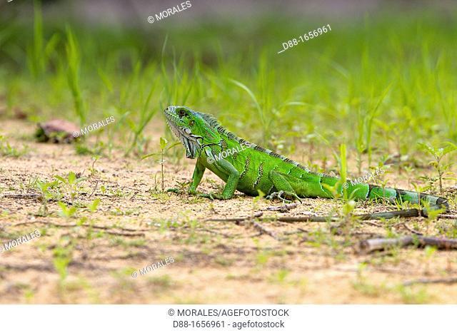 Brazil, Mato Grosso, Pantanal area, Green Iguana or Common Iguana Iguana iguana along the water