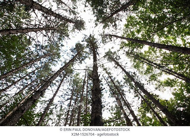 Canopy of Red Pine Forest  Pinus resinosa  during the summer months in Albany, New Hampshire USA