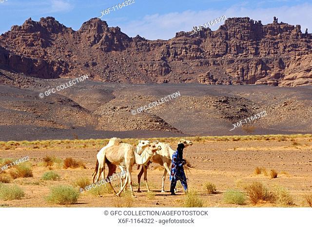 Tuareg nomad looking for a pasture for his white Mehari dromedaries in the Acacus Mountains, Sahara desert, Libya