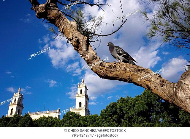A pingeon perches in a tree outside Merida's Cathedral on Mexico's Yucatan peninsula