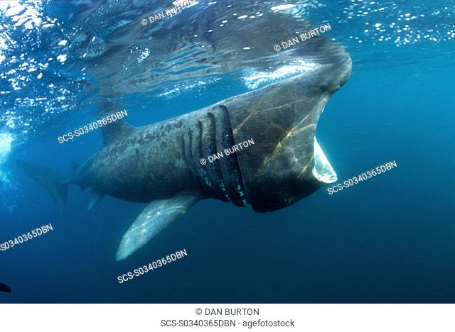 basking shark feeding in the UK