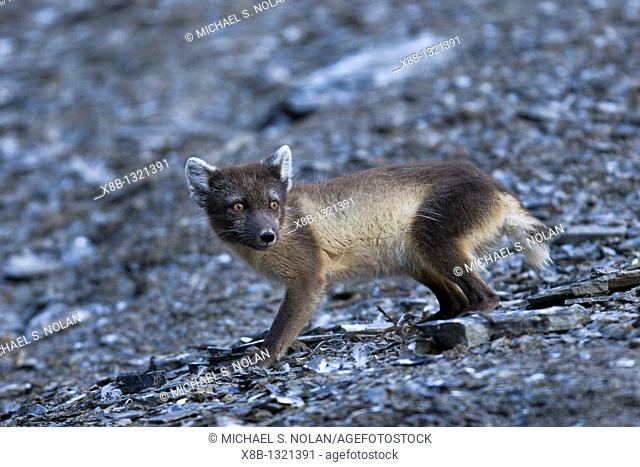 Arctic fox Alopex lagopus in Diskobukta on Edgeoya Edge Island in the Barents Sea in the Svalbard Archipelago, Norway  The Arctic fox is sometimes also called...