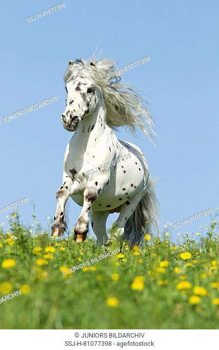 Shetland Pony. Miniature Appaloosa galloping on a meadow. Germany