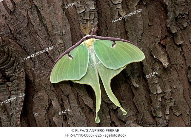 Luna Moth Actias luna adult male, from breeding stock, resting on conifer tree bark