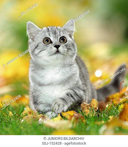 young British Shorthair cat on meadow