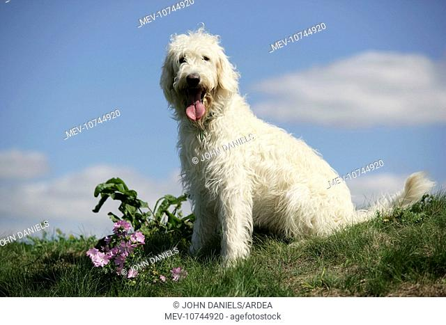 Cream labradoodle sitting in field