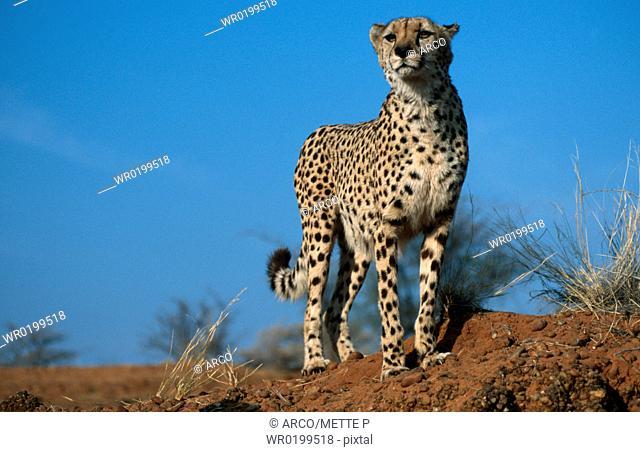 Cheetah, Namibia,Acinonyx, jubatus