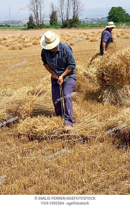 Farmers on a wheat field binding wheat