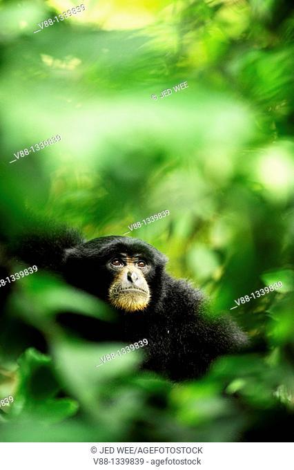 Siamang Gibbon (Symphalangus syndactylus), Singapore Zoological Gardens, Singapore