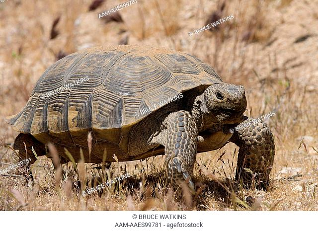 Desert Tortoise (Gopherus agassizii) large, adult, male, Desert Tortoise Natural Area, Kern County, California, USA, digital capture