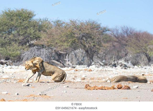 Two young male lazy Lions lying down on the ground. Zebra (defocused) walking undisturbed in the background. Wildlife safari in the Etosha National Park
