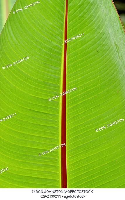 Quito botannical gardens- tropical leaf detail, Quito, Pichincha, Ecuador