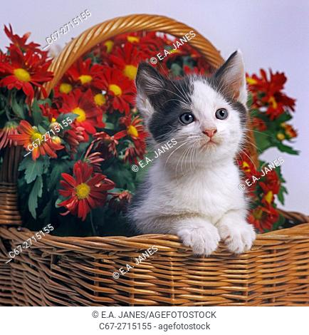 Black and white Kitten with flowers a studio portrait