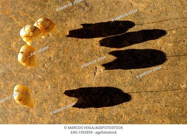 Quaking grass Briza maxima and shadow
