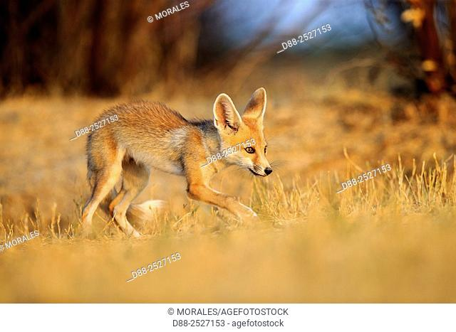 India, Gujarat, Little Rann of Kutch, Wild Ass Sanctuary, Desert fox or white-footed fox Vulpes vulpes pusilla, young at the den