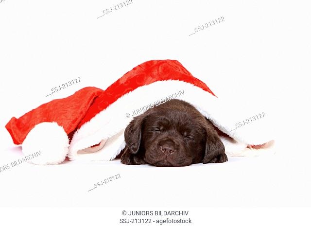 Labrador Retriever. Puppy (6 weeks old) sleeping in Santa Claus hat. Studio picture against a white background. Germany
