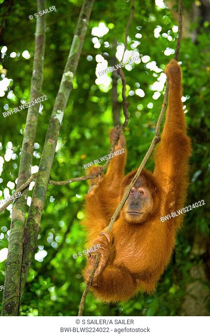 Sumatran orangutan Pongo pygmaeus abelii, Pongo abelii, young male is hanging lazily in the trees of a sumatran rainforest, Indonesia, Sumatra