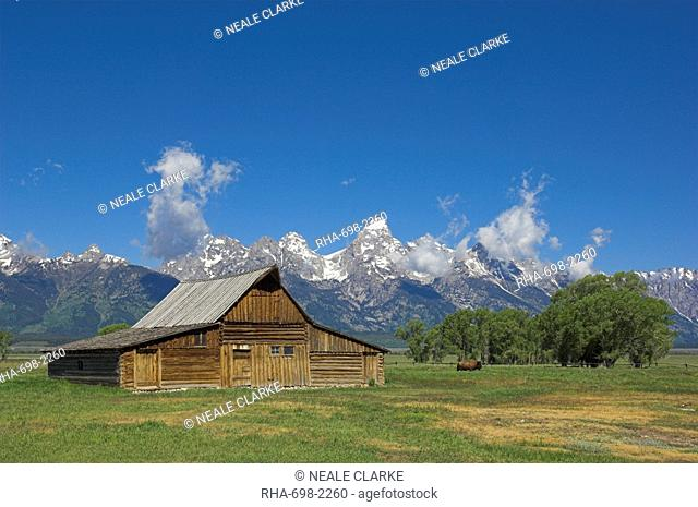 Mormon Row Barn and a bison off Antelope Flats Road, Jackson Hole, Grand Teton National Park, Wyoming, United States of America, North America