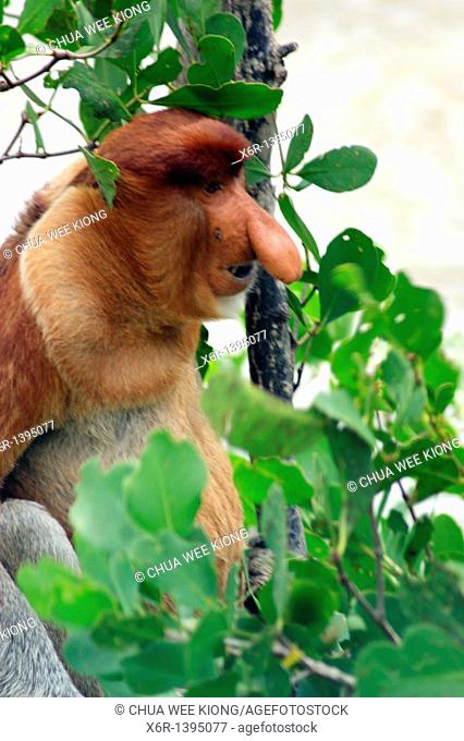Male Proboscis Monkey, Bako National Park, Borneo, Malasya